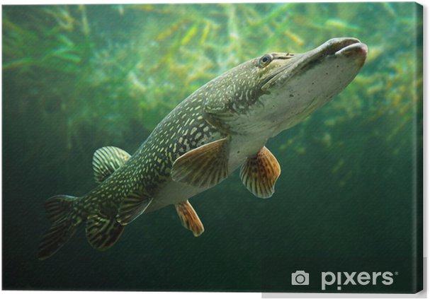 Cuadro en Lienzo Foto subacuática de un gran lucio (Esox lucius). - Temas
