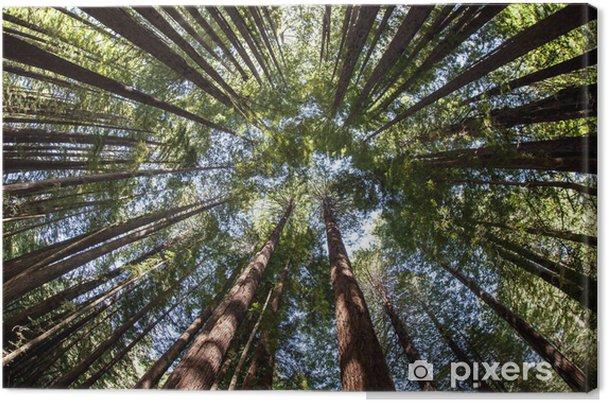 Cuadro en Lienzo Giant Redwood Bosque Canopy - Árboles