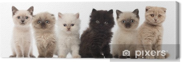 Cuadro en Lienzo Grupo de British shorthair y británicos gatitos de pelo largo - Temas