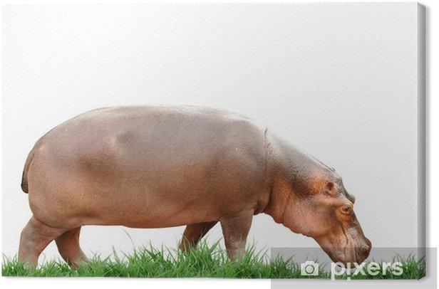 Cuadro en Lienzo Hipopótamo aislado - Vida