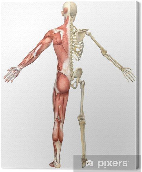 Cuadro en Lienzo Hombre muscular esquelética de Split Rear View - Salud y medicina