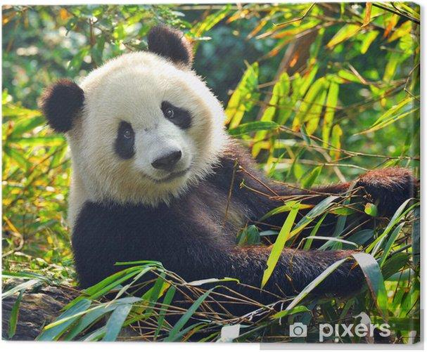 Cuadro en Lienzo Hungry gigante oso panda comiendo bambú - Animales
