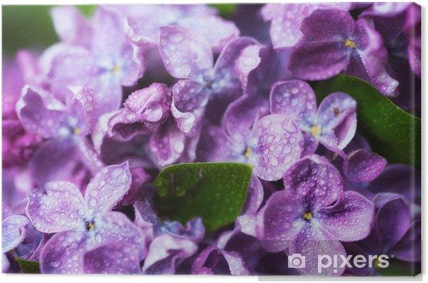 Cuadro en Lienzo Imagen macro de flores de color lila violeta suave de primavera con gotas de agua, fondo floral estacional natural. se puede utilizar como tarjeta navideña con espacio de copia. - Plantas y flores