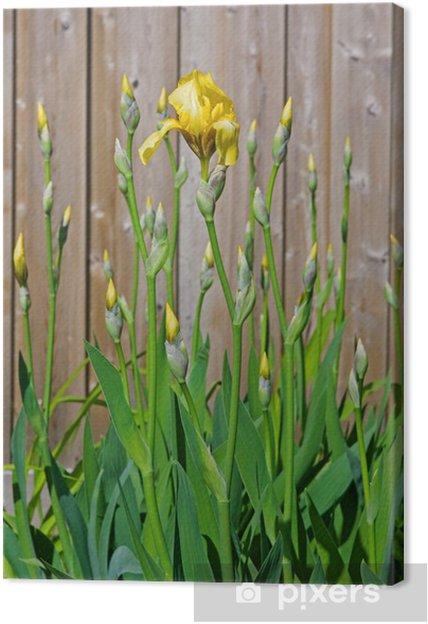 Cuadro En Lienzo Iris Amarillo Y Brotes Con Hojas Pixers