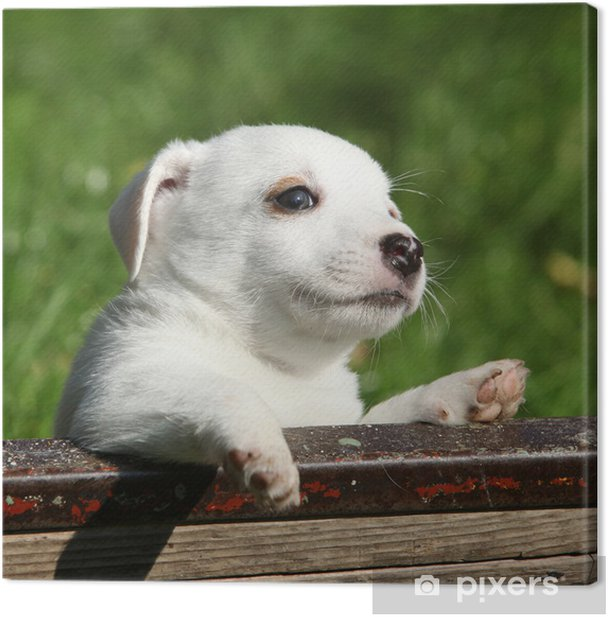 Cuadro en Lienzo Jack Russell Terrier adorable cachorro - Mamíferos