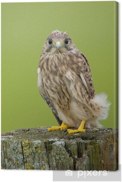 Cuadro en Lienzo Juvenil Cernícalo común - Aves