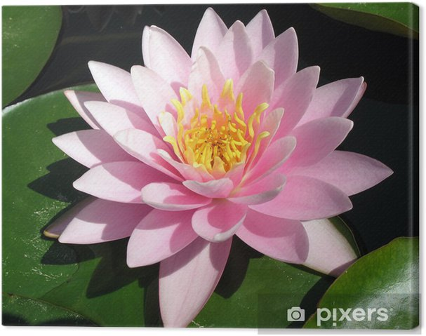 Cuadro en Lienzo Lirio de agua de color rosa perfecto - Flores