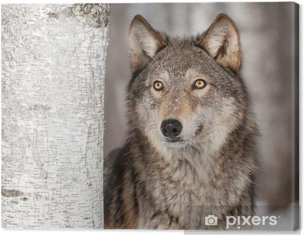 Cuadro en Lienzo Lobo gris (Canis lupus) mira para arriba -