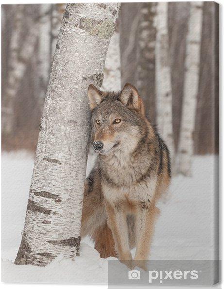 Cuadro en Lienzo Lobo gris (Canis lupus) se coloca al lado del árbol de abedul - Temas