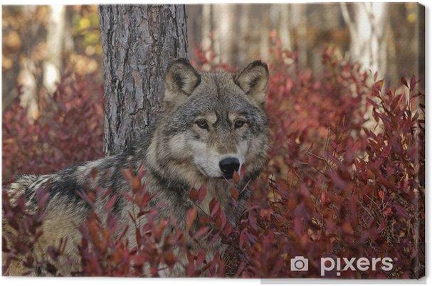 Cuadro en Lienzo Lobo gris en otoño arbusto de arándano - Temas