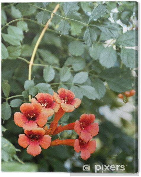Cuadro en Lienzo Madreselva - Plantas