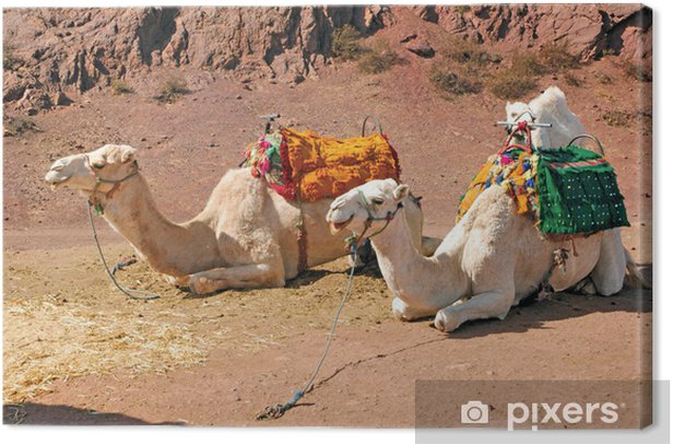 Cuadro en Lienzo Marruecos, Marrakech: Camellos - Mamíferos