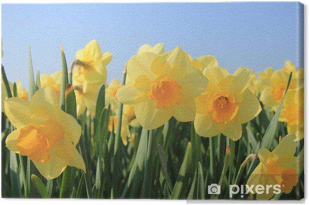 Cuadro En Lienzo Narcisos Amarillos En Un Campo Pixers Vivimos - Narcisos-amarillos
