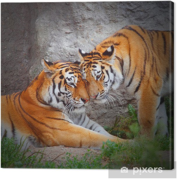 Cuadro en Lienzo Pareja de Tiger. El amor en la naturaleza. -