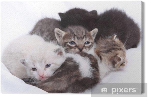 Cuadro en Lienzo Pequeños gatos - Temas