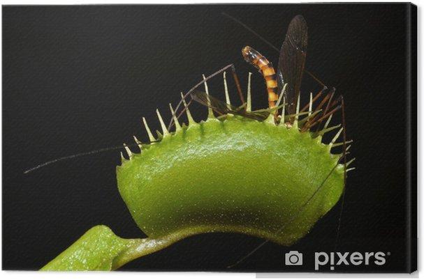 Cuadro en Lienzo Planta carnívora atrapar mosquito gigante en su hoja de - Maravillas de la naturaleza