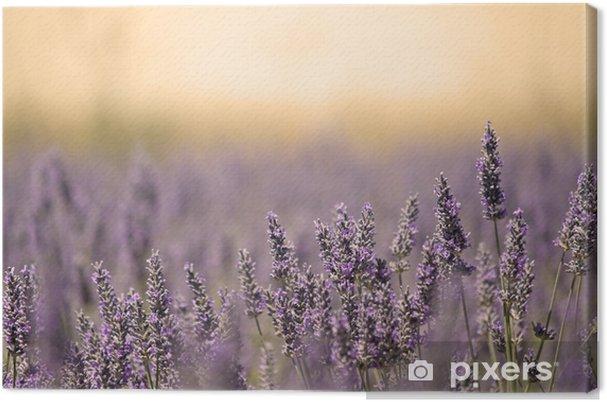 Cuadro en Lienzo Prado del verano con la flor. Lavender. - Hierbas