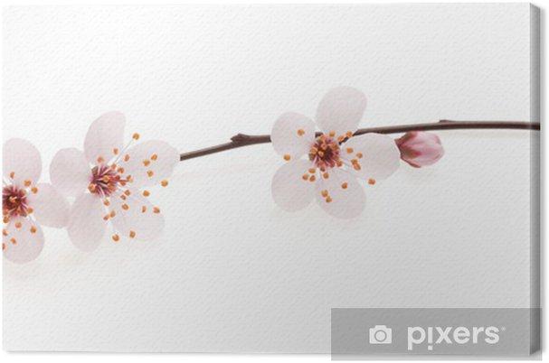 Cuadro en Lienzo Rama de cerezo japonés con flores, aislado en ...
