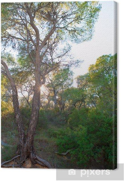 Cuadro en Lienzo Sierra Calderona bosque de pinos en Sierra Naquera de Valencia - Europa