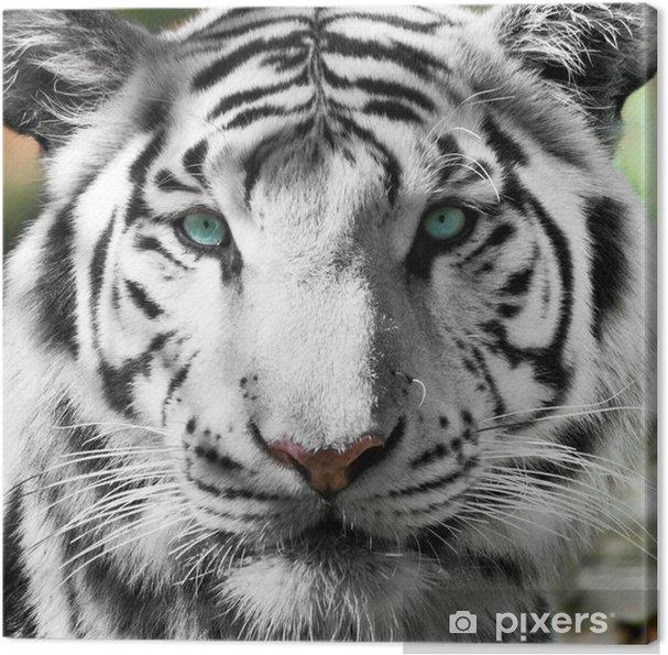 Cuadro en Lienzo Tigre Blanc Royal (Panthera tigris) - Temas