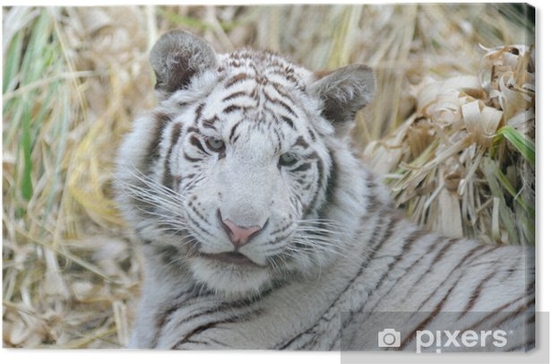 Cuadro en Lienzo Tigre blanco se ve joven - Mamíferos