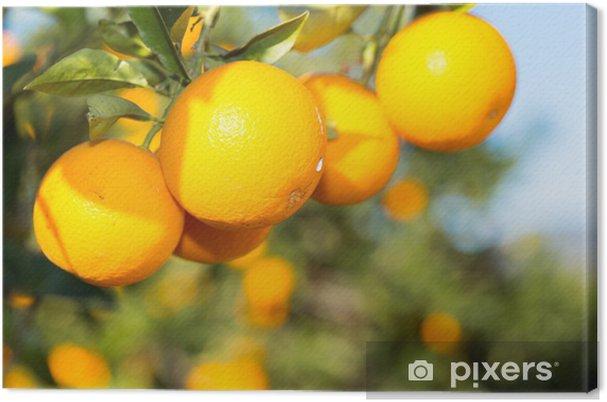 Cuadro en Lienzo Valencia orange trees - Frutas