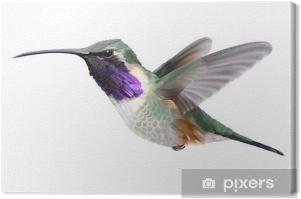 Cuadro en Lienzo Volar Lucifer Colibrí - Calothorax lucifer .__ ...