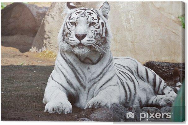 Cuadro en Lienzo White tiger -