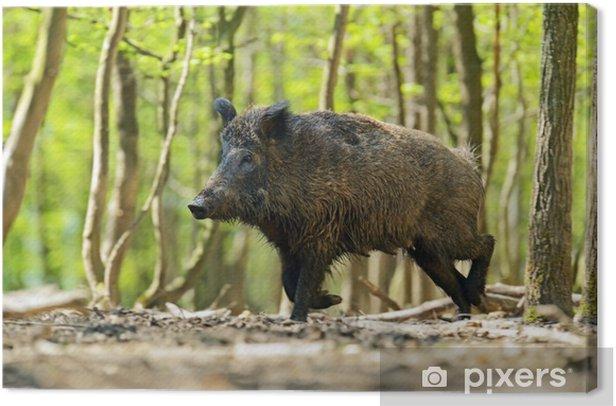 Cuadro en Lienzo Wild boar - Mamíferos