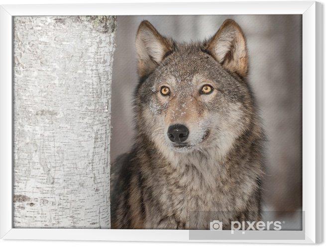 Cuadro Enmarcado Lobo gris (Canis lupus) mira para arriba -