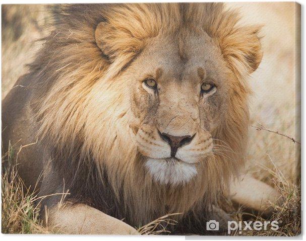 Stor løve i Zambia, Afrika Fotolærred -