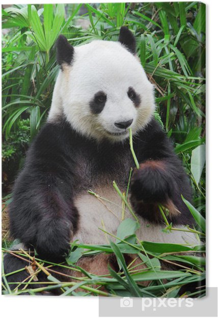 Wild panda Fotolærred -