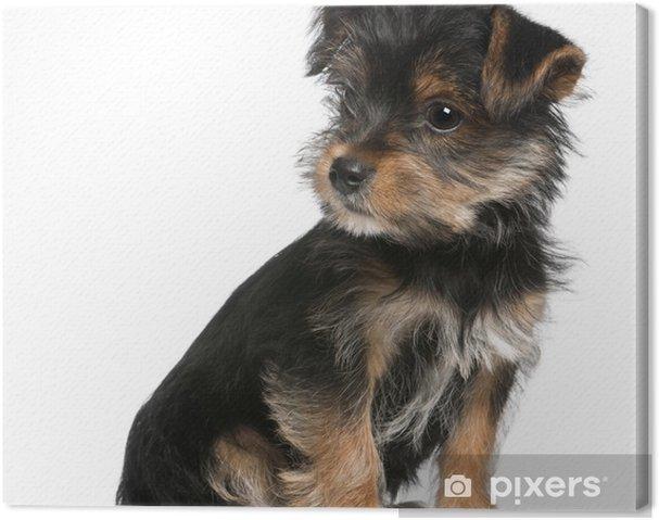 yorkshire terrier korthåret