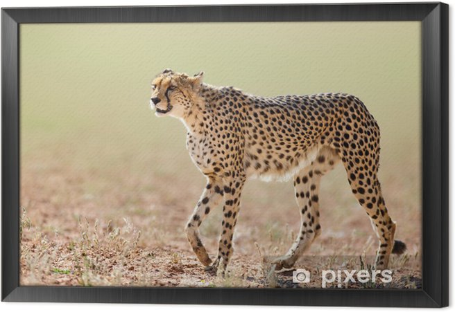 Cheetah Framed Canvas - Mammals