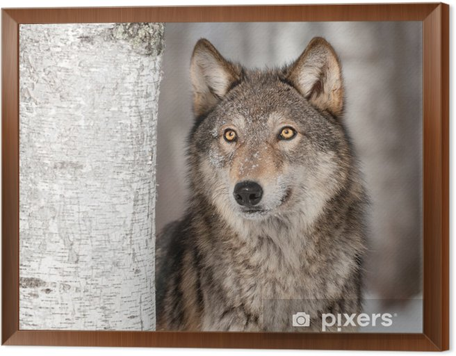 Grey Wolf (Canis lupus) Looks Up Framed Canvas -