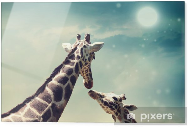 Glasbild Giraffen in Freundschaft oder Liebe Konzept Bild - Giraffen