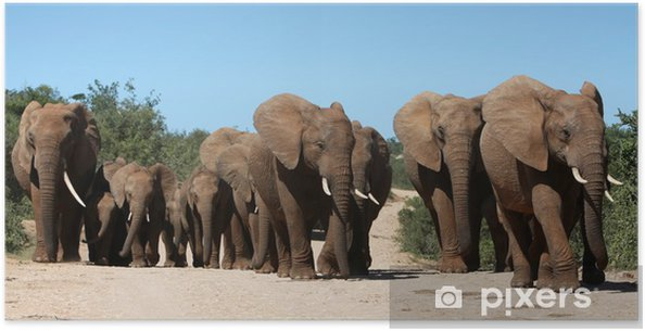 Afrikkalainen elefantti karja Juliste -