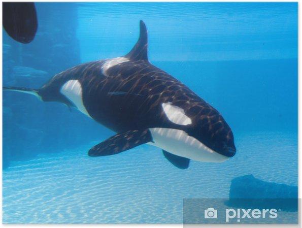 Tappava valas (orcinus orca) akvaariossa Juliste - Merenelävät