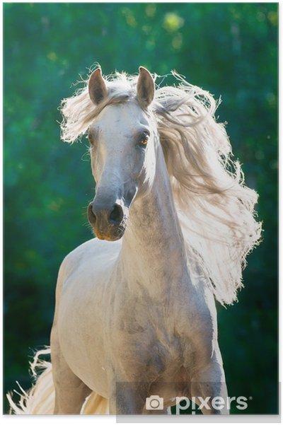 Valkoinen hevonen käy galopin edessä Juliste -