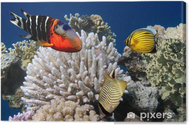 Kuva korallikokoelmasta riutalla Kangaskuva -