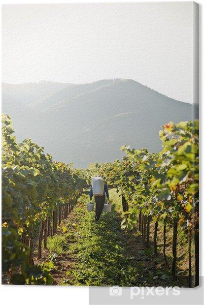 Työntekijä viinitarhassa Kangaskuva - Maatalous