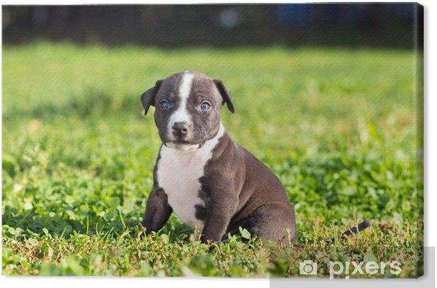 Leinwandbild American Staffordshire Terrier Welpen Pixers Wir