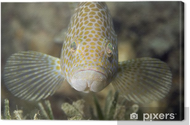 Leinwandbild Areoliert Grouper - Unterwasserwelt