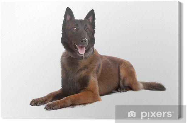 Leinwandbild Belgien Schäferhund - Säugetiere
