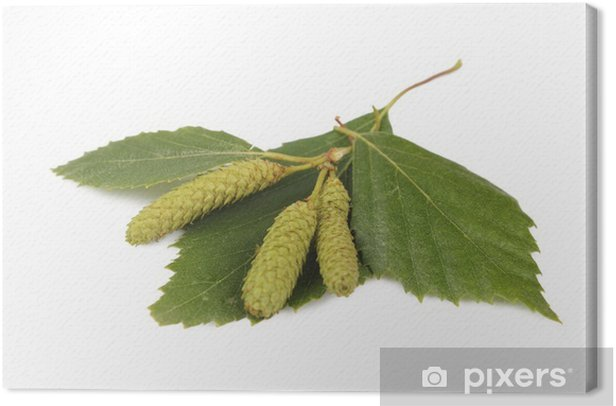 Leinwandbild Birkenblätter mit Ohrringen in Weiß - Wandtattoo