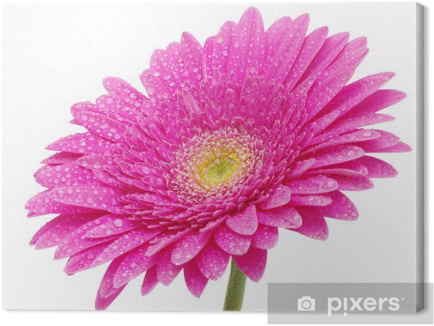 Leinwandbild Blume Gerbera - Blumen