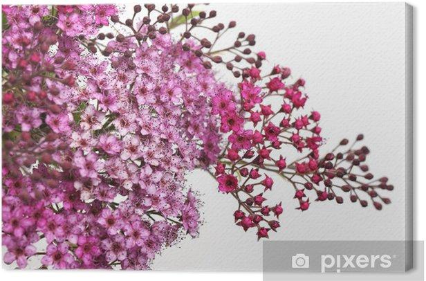Leinwandbild Blütenstand von Spirea japonica - Blumen