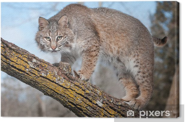 Leinwandbild Bobcat (Lynx rufus) Stare auf-Viewer von Ast - Jahreszeiten
