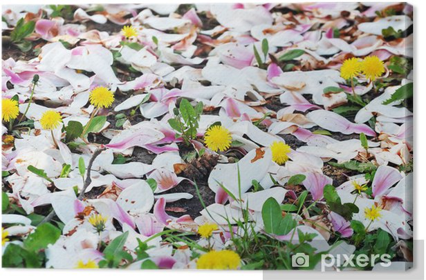 Leinwandbild Boden mit blühenden Löwenzahn mit Magnolienblütenblätter - Jahreszeiten