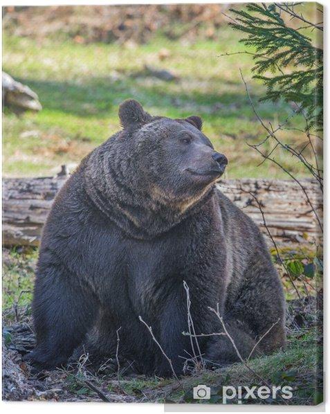 Leinwandbild Braunbär männlich - Themen
